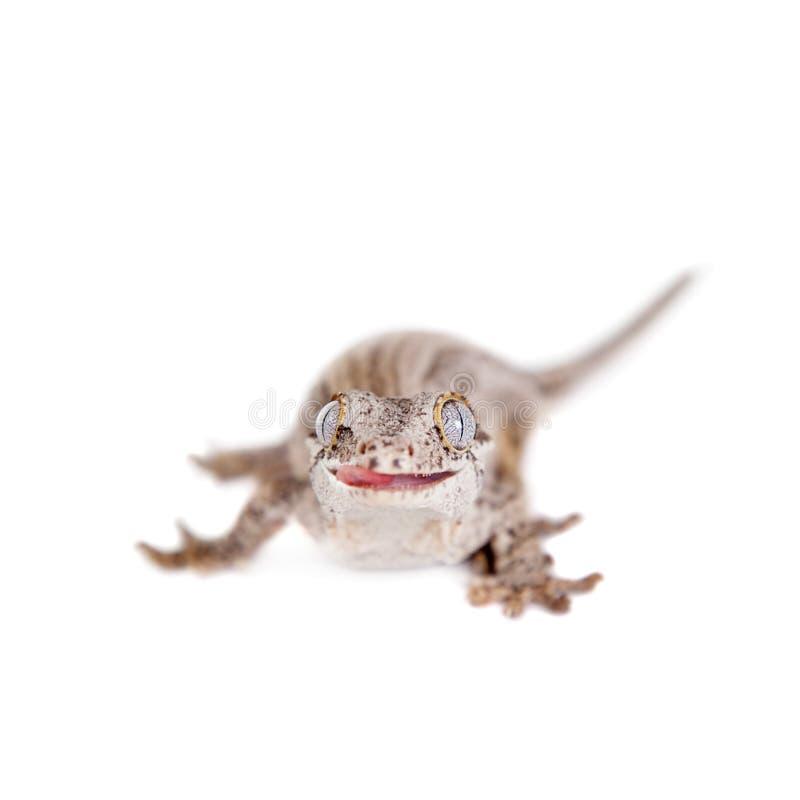 Download La Gargouille, Nouveau Gecko Inégal Calédonien Sur Le Blanc Photo stock - Image du résolu, gecko: 56488096