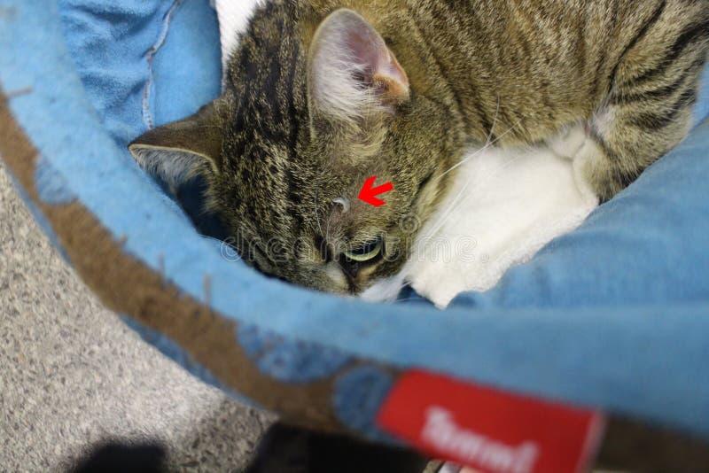 La garra de Brocken sticked en cabeza después de lucha entre la flecha del rojo de los gatos imagenes de archivo