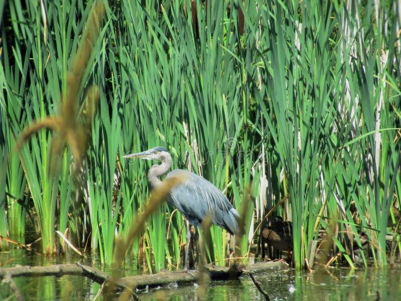 La garza de gran azul en el santuario de ave migratoria de Reifel, Ladner, delta, Canadá, verano 2018 imagen de archivo libre de regalías