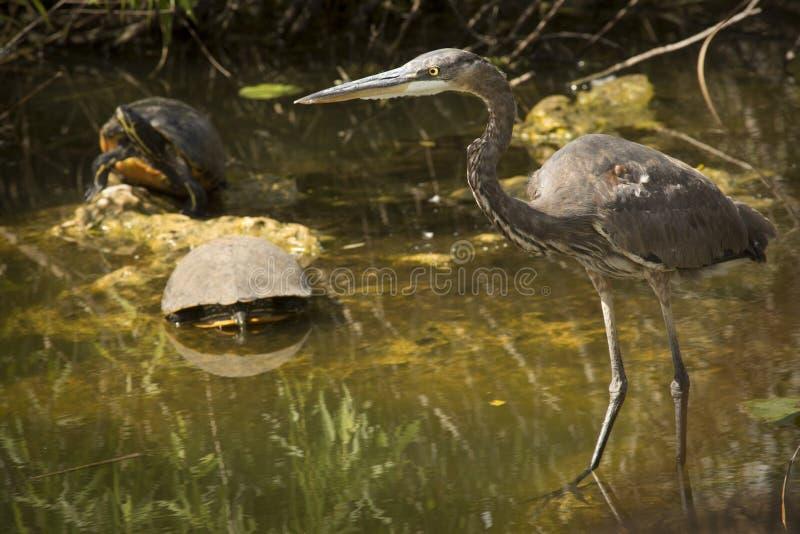 La garza de gran azul se coloca con dos tortugas en los marismas imagen de archivo libre de regalías