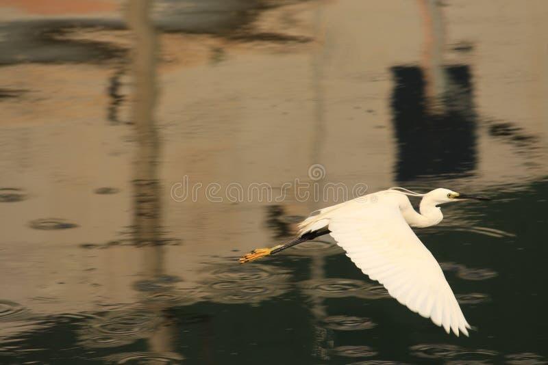 La garza está en un vuelo Aguas tranquilas en eveing Pájaro quizás que llega detrás al lugar permanecer foto de archivo