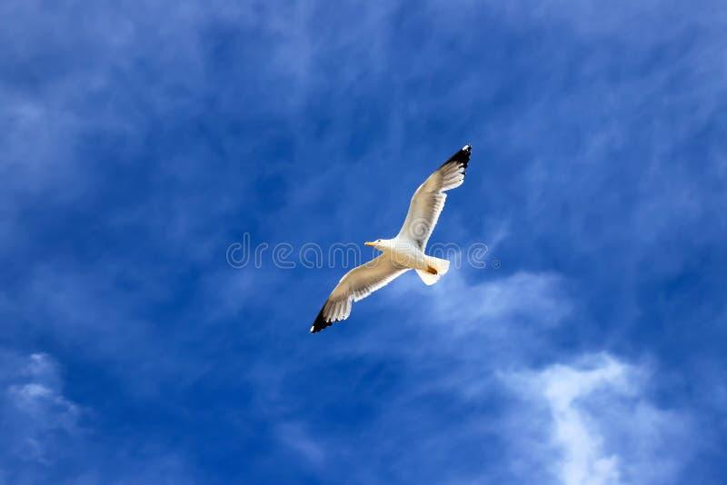 La gaviota blanca hermosa se eleva contra el cielo azul con las nubes Gaviota en vuelo imagen de archivo