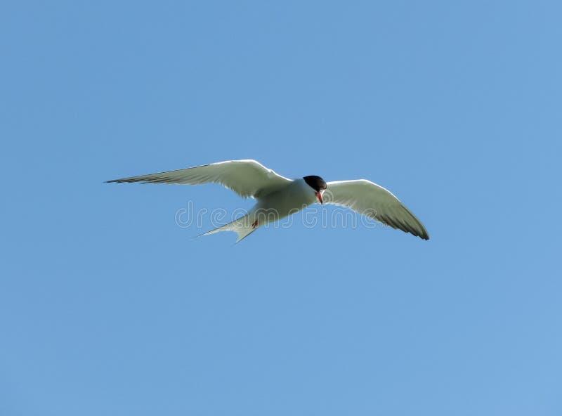 La gaviota blanca vuela en un cielo azul imagenes de archivo