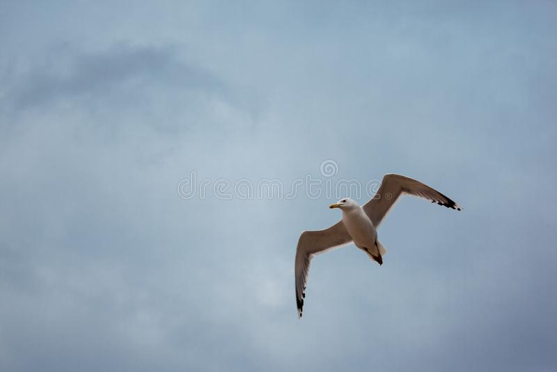 La gaviota blanca vuela sobre el mar en el tiempo ventoso nublado, ondas, viento, nubes fotos de archivo