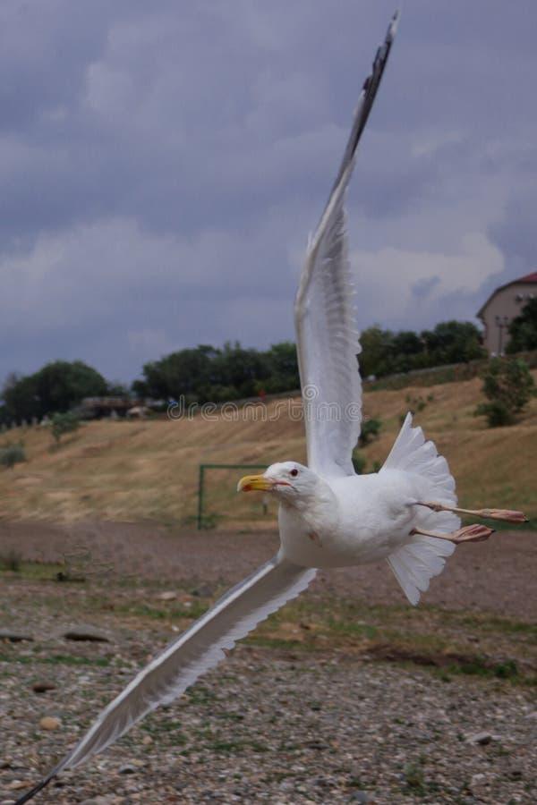 La gaviota blanca vuela sobre el mar en el tiempo ventoso nublado, ondas, viento, nubes fotografía de archivo
