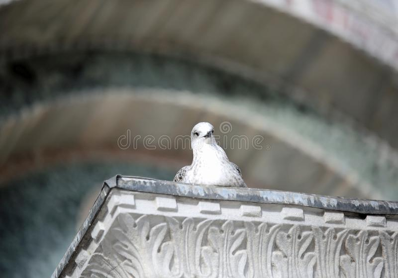 La gaviota curiosa mira al fotógrafo desde arriba de una columna foto de archivo libre de regalías