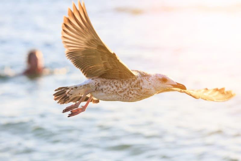 La gaviota está volando contra la perspectiva del mar y de un hombre de la natación en la puesta del sol imágenes de archivo libres de regalías
