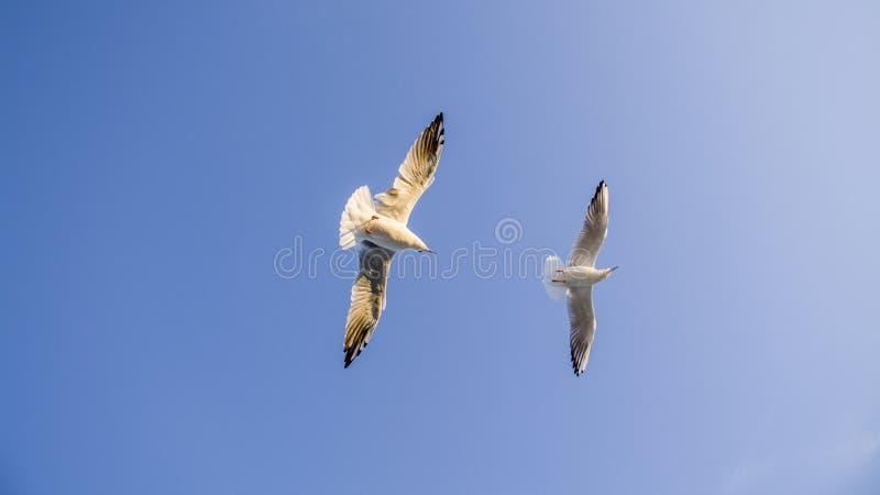 La gaviota está volando en el cielo azul Día hermoso fotografía de archivo