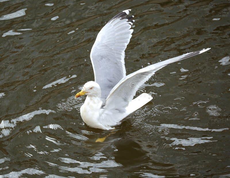 La gaviota se sienta en el agua que separa sus alas fotografía de archivo libre de regalías