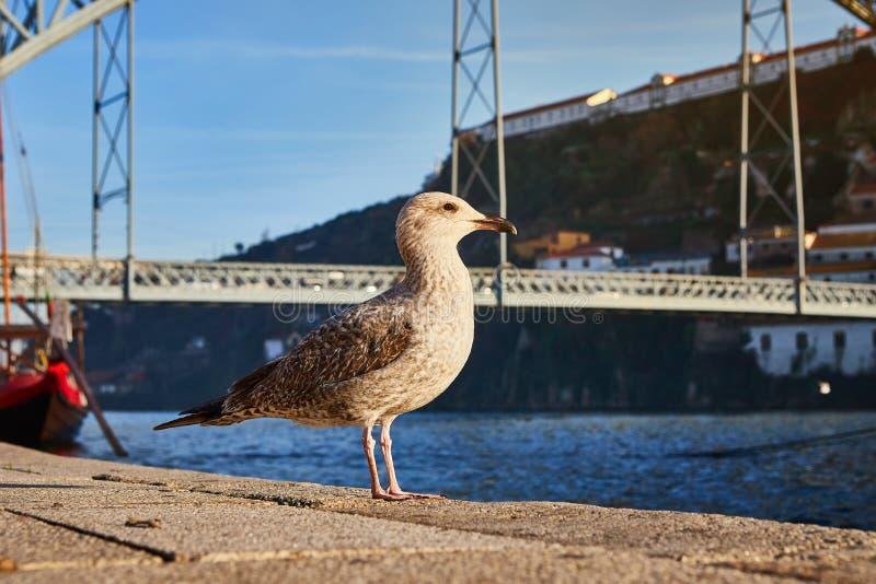 La gaviota se sienta en el terraplén del río el Duero en Oporto viejo con el fondo del puente de Dom Luis, Portugal foto de archivo