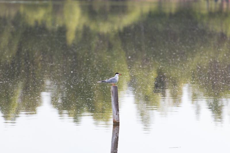 La gaviota se sienta en un polo foto de archivo