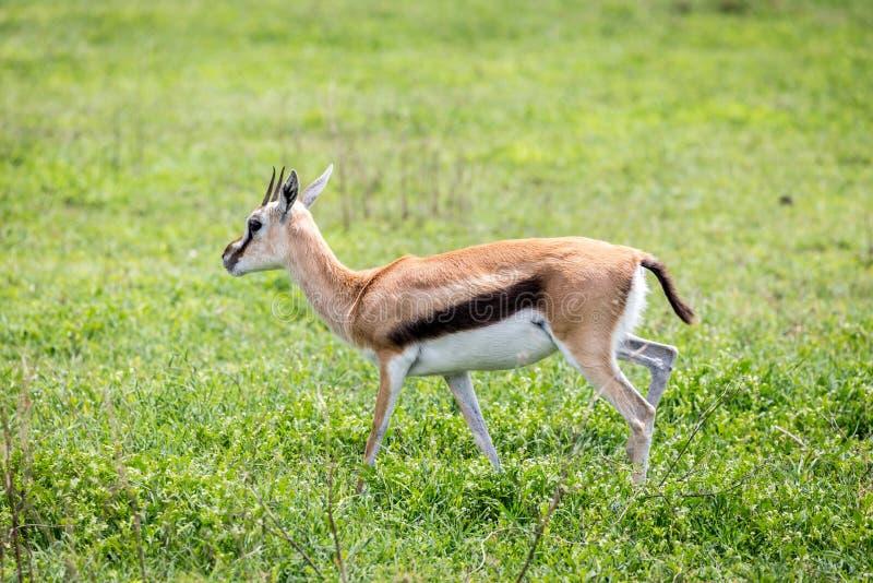 La gazelle d'un Thompson dans le Serengeti image libre de droits