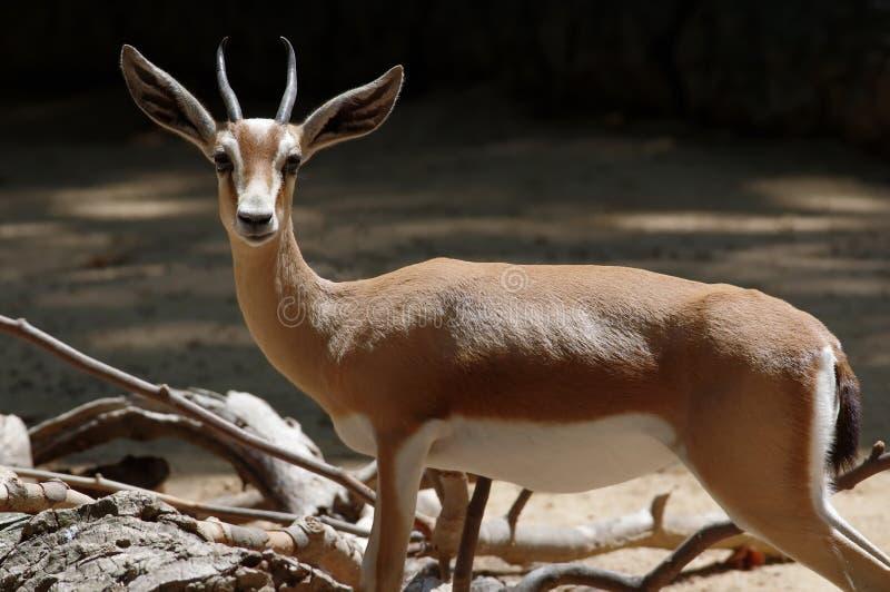 La gazelle de dorcas ou gazelle d'ariel image libre de droits
