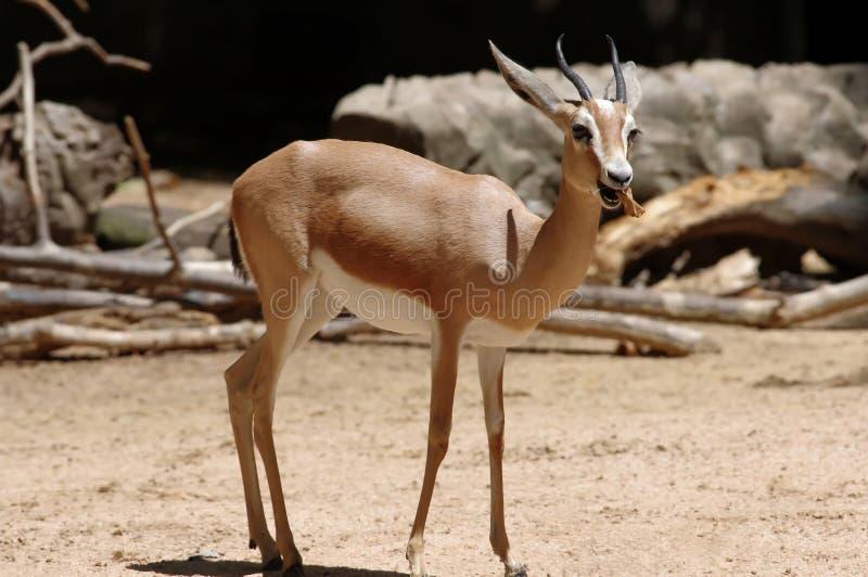 La gazelle de dorcas ou gazelle d'ariel images libres de droits