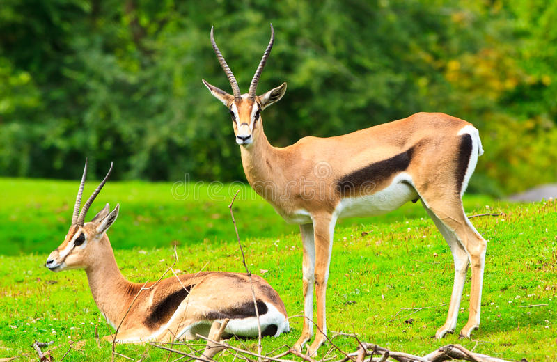 Download La gazelle de Grant image stock. Image du animal, mammifère - 20173513