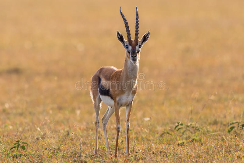 La gazelle de Thomson photos stock