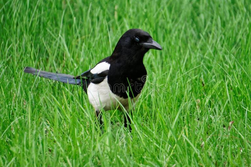 La gazza cammina nell'erba verde della molla fresca ornitologia fotografia stock