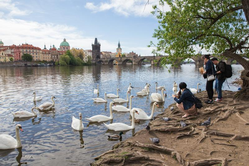 La gente alimenta cisnes con pan Puente y edificios viejos de Charles Río de Moldava con los cisnes Foto 2019 del viaje fotos de archivo libres de regalías