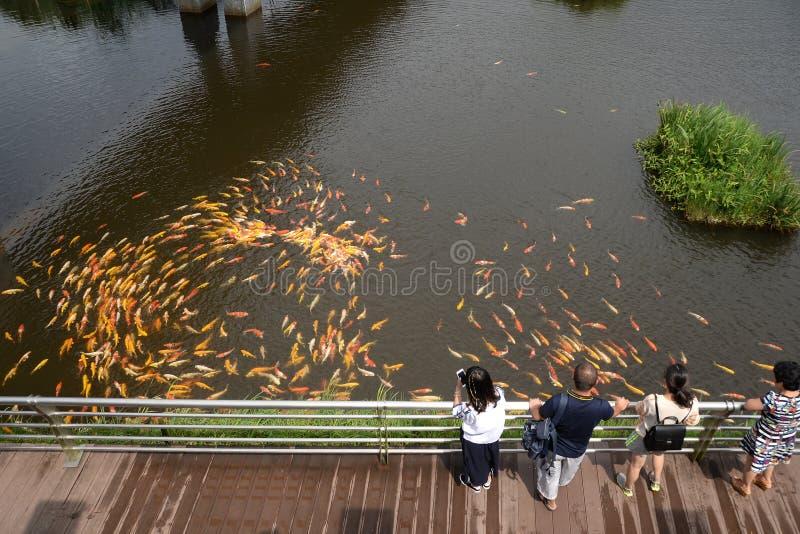La gente alimenta natación de los pescados de lujo de la carpa o de Koi en el jardín de la charca fotografía de archivo