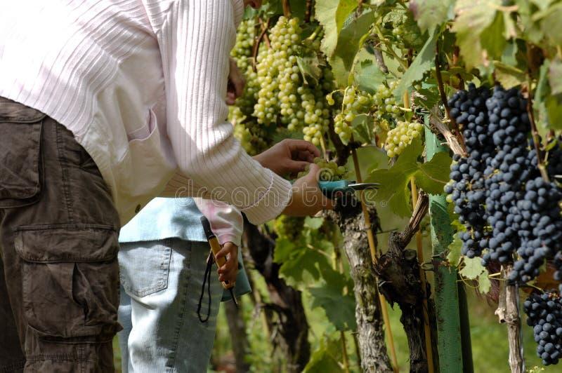 Download La Gente Che Raccoglie Gli Acini D'uva Fotografia Stock - Immagine di nutrient, brown: 3128144