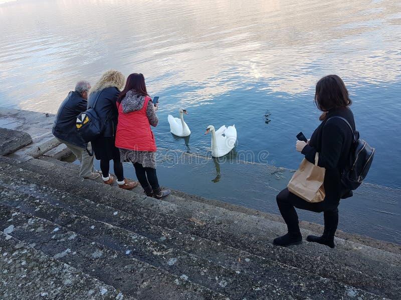 La gente di fotografia della foto del telefono cellulare che prende immagine degli uccelli dei sawns in un lago immagine stock libera da diritti