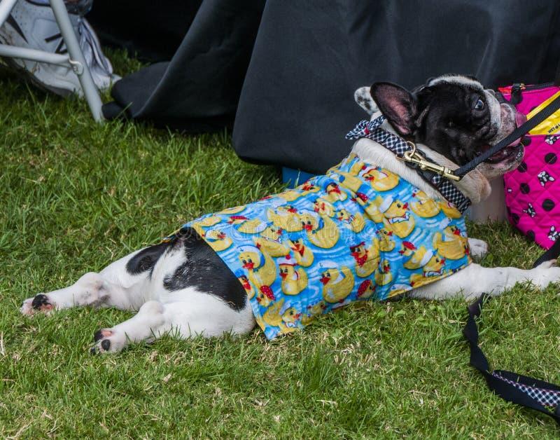 La gente e gli animali domestici si vestono egualmente in costumi ducky di gomma per Duck Races fotografia stock libera da diritti