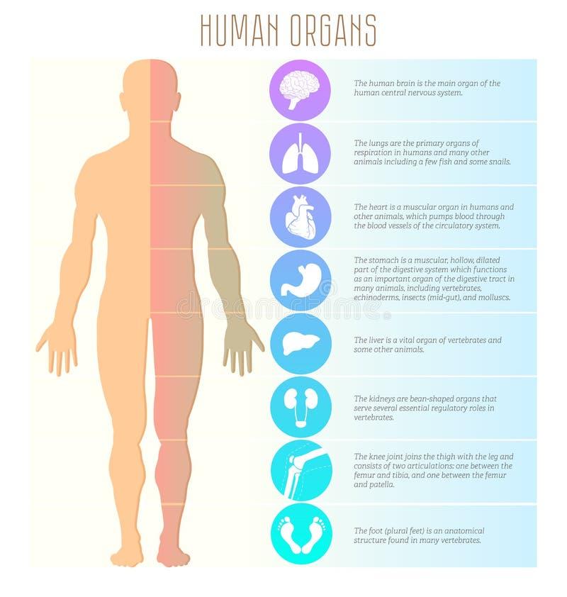 La gente ed organi umani, cervello, polmoni, cuore, stomaco, fegato, reni, ginocchio, giunto e piede Vettore medico, di salute e  illustrazione vettoriale