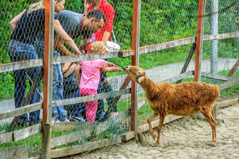 La gente nello zoo alimenta una capra marrone di Nubian attraverso la grata immagini stock