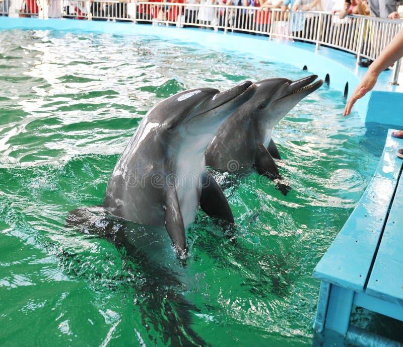 La gente passa petting i delfini immagine stock libera da diritti