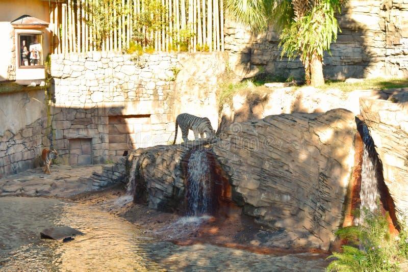 La gente que mira a través de ventana el tigre de Bengala y el agua potable del tigre blanco los jardines de Bush apisuena imagen de archivo