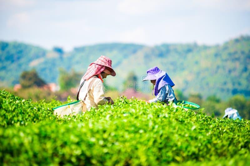 La gente stava selezionando le foglie di tè ad una piantagione di tè immagini stock libere da diritti