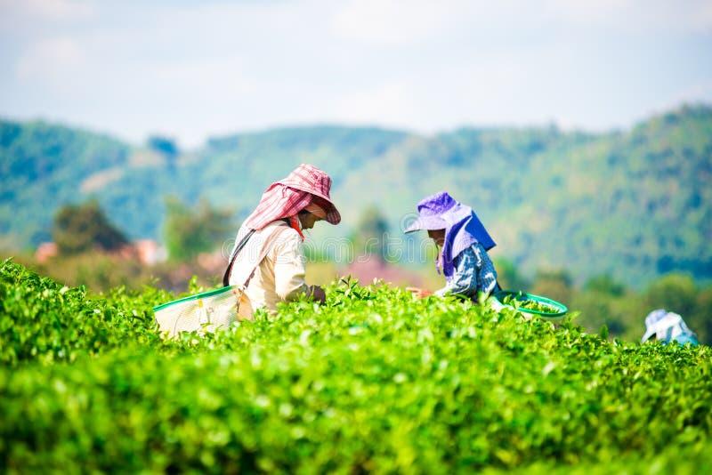 La gente stava selezionando le foglie di tè ad una piantagione di tè fotografie stock libere da diritti