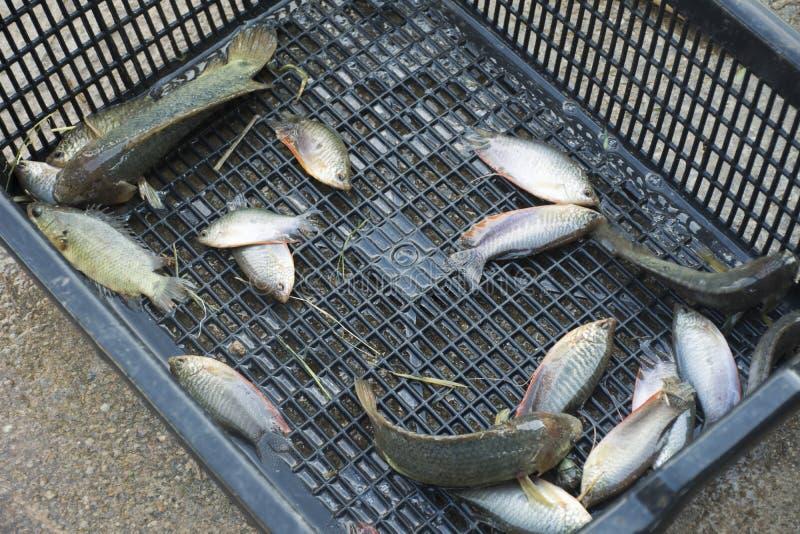 La gente tailandesa coge pescados del Osphromemus gorami del claro de luna y Osphromemus gorami que sube imagenes de archivo