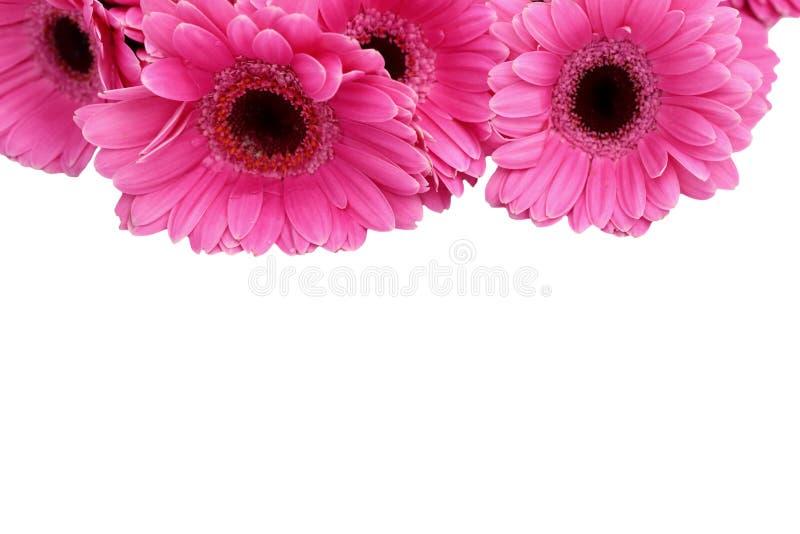 La gerbera è un fiore caratterizzato da molti coralli e più usato spesso dai fioristi in mazzi come fiore da taglio perché è dist fotografia stock libera da diritti