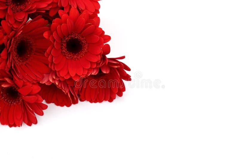 La gerbera è un fiore caratterizzato da molti coralli e più usato spesso dai fioristi in mazzi come fiore da taglio perché è dist fotografie stock libere da diritti