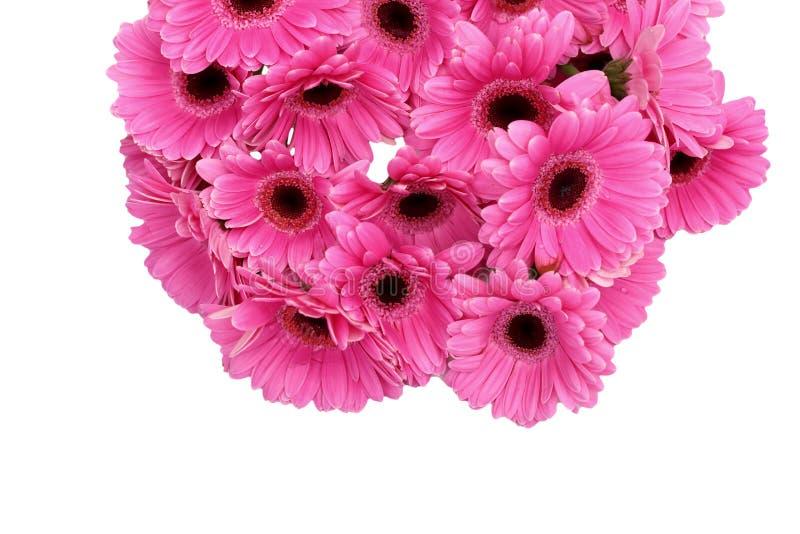 La gerbera è un fiore caratterizzato da molti coralli e più usato spesso dai fioristi in mazzi come fiore da taglio perché è dist immagini stock libere da diritti