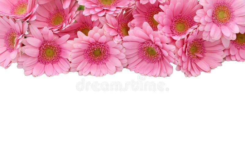 La gerbera è un fiore caratterizzato da molti coralli e più usato spesso dai fioristi in mazzi come fiore da taglio perché è dist immagini stock
