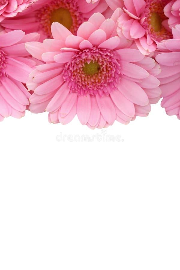 La gerbera è un fiore caratterizzato da molti coralli e più usato spesso dai fioristi in mazzi come fiore da taglio perché è dist immagine stock libera da diritti