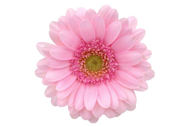 La gerbera è un fiore caratterizzato da molti coralli e più usato spesso dai fioristi in mazzi come fiore da taglio perché è dist fotografia stock