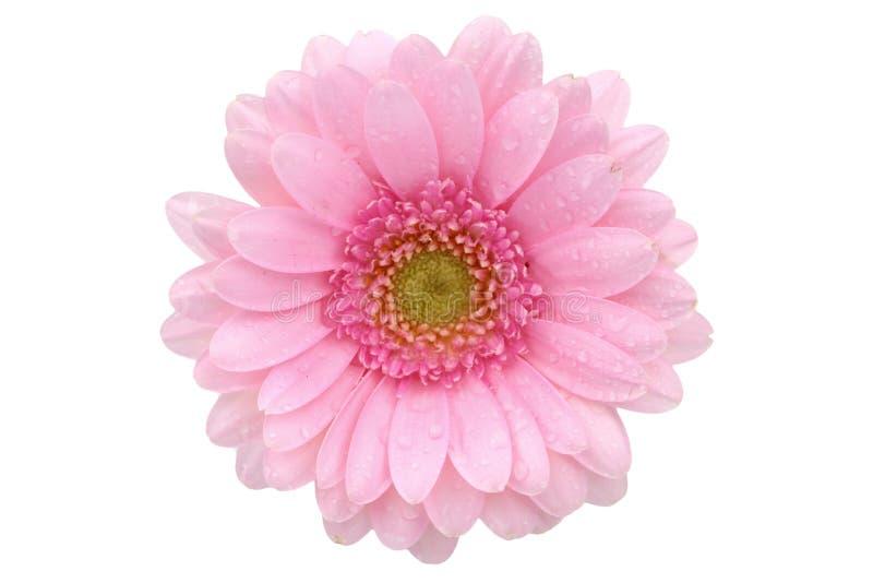 La gerbera è un fiore caratterizzato da molti coralli e più usato spesso dai fioristi in mazzi come fiore da taglio perché è dist immagine stock