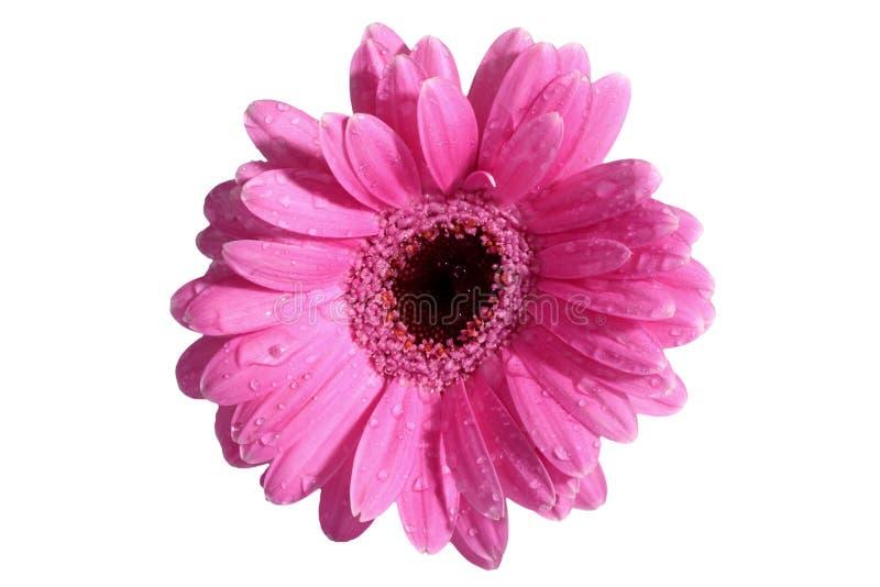 La gerbera è un fiore caratterizzato da molti coralli e più usato spesso dai fioristi in mazzi come fiore da taglio perché è dist fotografie stock