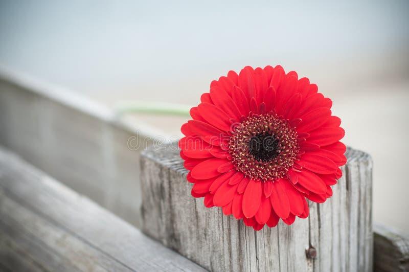 La gerbera rossa su di legno recinta all'aperto fotografia stock
