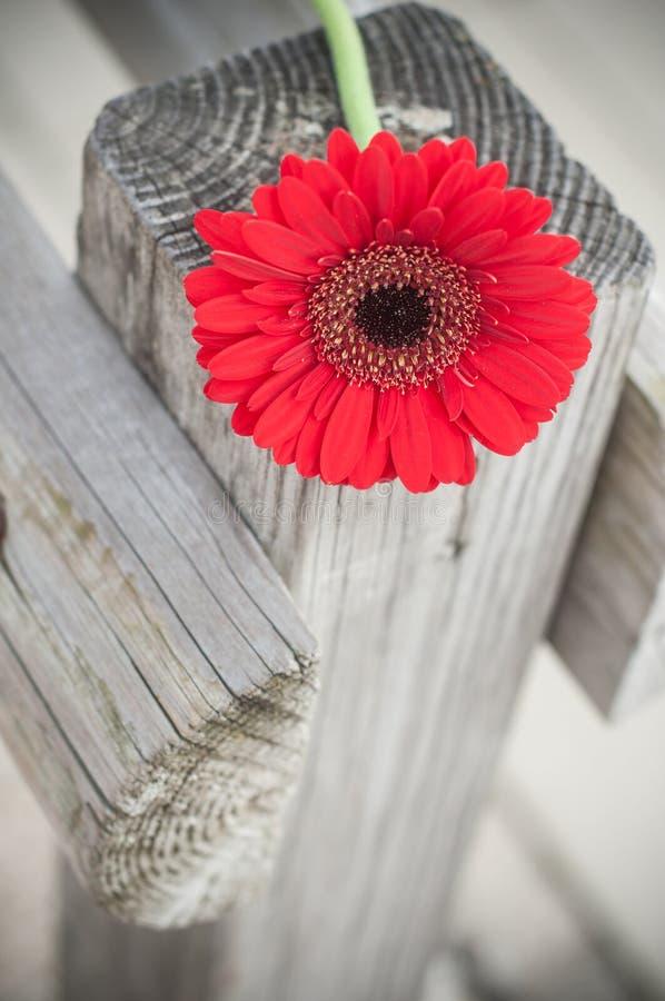 La gerbera rossa su di legno recinta all'aperto immagini stock