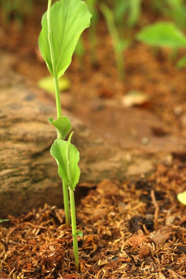 Download La Germinación Es La Nueva Vida De Almácigos Verdes Imagen de archivo - Imagen de outdoors, agricultura: 42441301