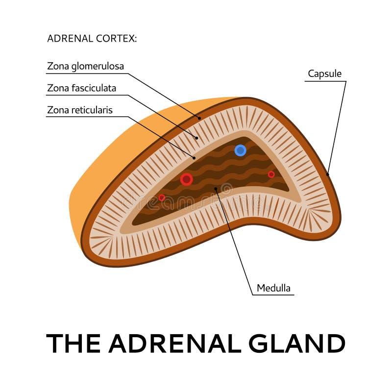 La ghiandola surrenale, schema medico, illustrazione dal punto di vista illustrazione di stock