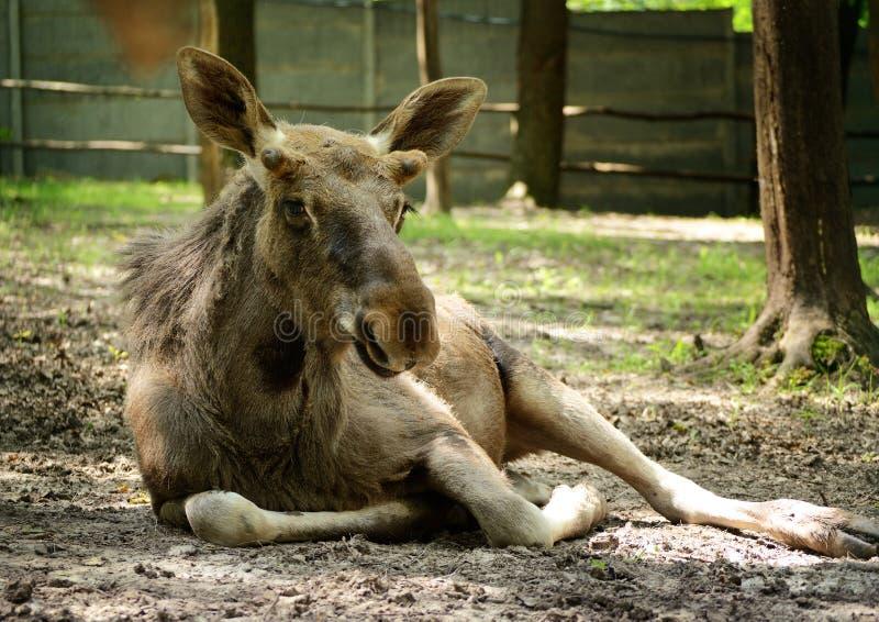 La giovane alce, alces di alces, è il più grande cervo vivente Animale selvatico nello zoo immagini stock