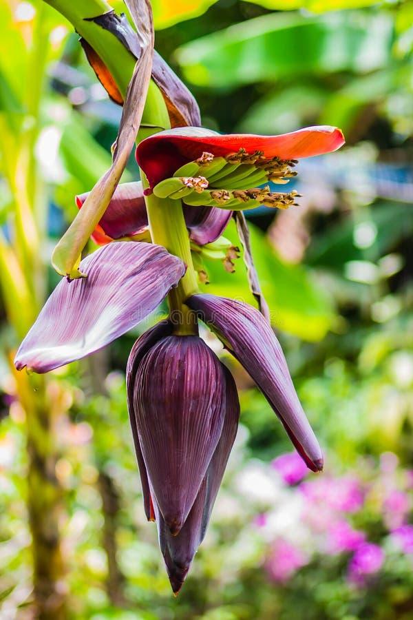 La giovane banana verde organica fruttifica sull'albero con il sole nel giorno soleggiato Mazzo di giovane frutta verde cruda fre fotografia stock libera da diritti