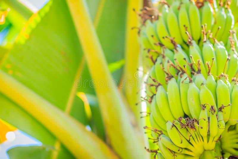 La giovane banana verde organica fruttifica sull'albero con il sole nel giorno soleggiato Mazzo di giovane frutta verde cruda fre fotografie stock libere da diritti
