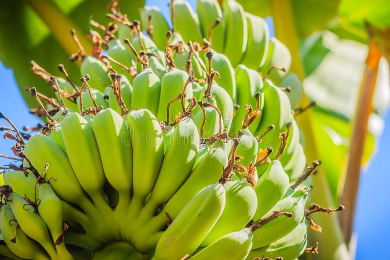 La giovane banana verde organica fruttifica sull'albero con il sole nel giorno soleggiato Mazzo di giovane frutta verde cruda fre fotografia stock
