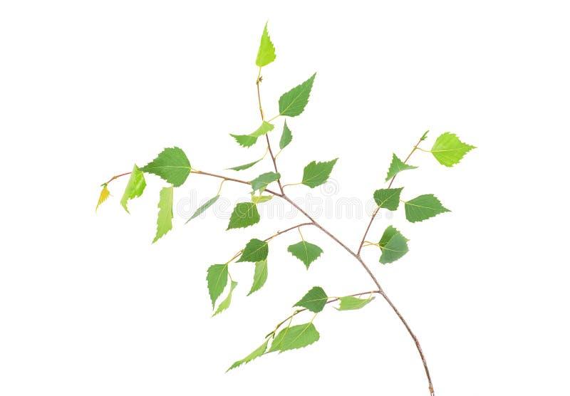 La giovane betulla della molla lascia sul ramo isolato fotografia stock libera da diritti
